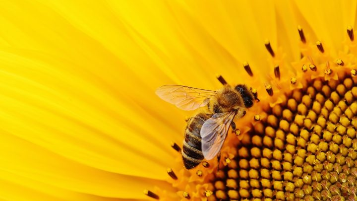 abeille sur tournesol action associative