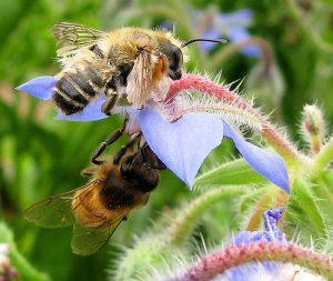 abeille sur bourrache action
