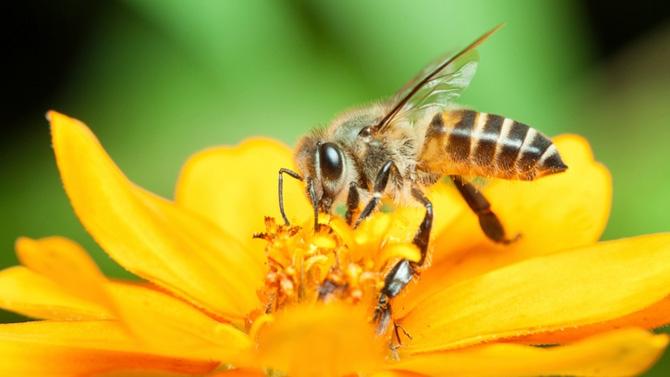 opération sauver abeilles fleurs mellifères